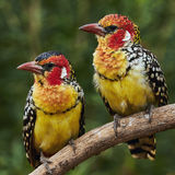 Couple of red and yellow barbet Stock Images