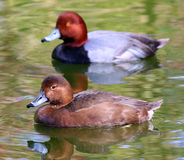Couple of Redhead Ducks Female Duck Royalty Free Stock Photos