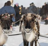 Couple reindeers Royalty Free Stock Images