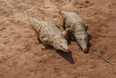 Couple of reptiles. A couple of african crocodile on the sand Stock Photos