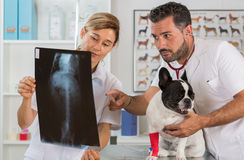 Couple reviewing veterinary radiography Stock Photo