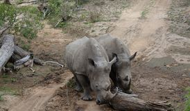 Couple of rhinos – South Africa. Couple of rhinos in the Savanna – South Africa Stock Photography