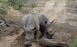 Couple of rhinos – South Africa. Couple of rhinos in the Savanna – South Africa Royalty Free Stock Images