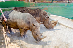 A couple of rhinos waiting for food Stock Photos
