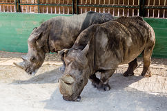 A couple of rhinos waiting for food royalty free stock image