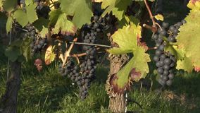 Blue grapes in a vineyard. A couple of ripe blue grapes hanging in a vineyard waiting to beharvested stock footage