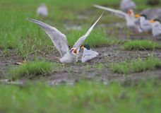 Couple of river tern bird stock photo