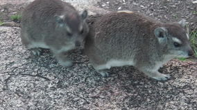 Couple rock hyraxs. Two rock hyraxs kissing on the rocks the Serengeti National Park, Tanzania, Africa stock footage