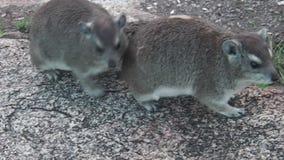 Couple rock hyraxs stock footage