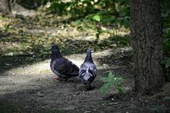 A couple of rock pigeons (columba livia) meet each other stock images