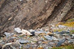 Couple of rock ptarmigan birds nesting in Svalbard Royalty Free Stock Photo