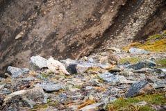 Couple of rock ptarmigan birds nesting in Svalbard Royalty Free Stock Photography