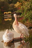 A couple of Rosy Pelicans at the Luise Park in Mannheim, Germany Royalty Free Stock Photos