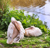 Couple of Rosy Pelicans Royalty Free Stock Image