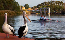 Couple rowing on the River Torrens Royalty Free Stock Photo