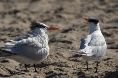 The Couple of Royal Terns at the Malibu Beach.  Royalty Free Stock Image