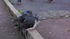 Couple of ruffled pigeons stock video