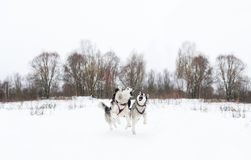Couple of running huskies on snow. Sledding with dog Royalty Free Stock Photography