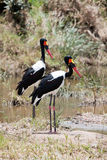 Couple of Saddle-billed Stork Stock Photos