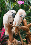 Couple of Salmon-crested Cockatoo Royalty Free Stock Image