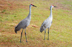 Couple Sandhill Crane, florida, USA Royalty Free Stock Photo