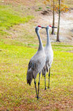 Couple Sandhill Crane, florida, USA Royalty Free Stock Photos