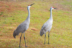 Couple Sandhill Crane, florida, USA Stock Photo