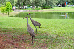 Couple Sandhill Crane, florida, USA Royalty Free Stock Image