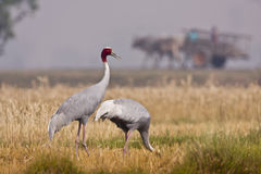 Couple of sarus cranes Stock Photography