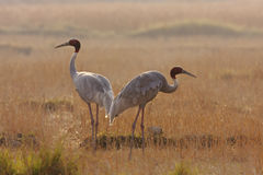 Couple of sarus cranes standing in the grass at Lumbini, Terai, Nepal Royalty Free Stock Image