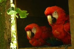 A couple of scarlet macaws sitting next to eachother stock photos