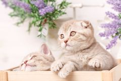 A couple of Scottish red kittens sit in a decorative wooden box. Nice cats. Flowers in the background Stock Photography