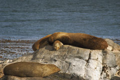 Couple of sea lions sunbathing in the beagle channel. Sea lions enjoying the midday sun lying on top of each other royalty free stock photo