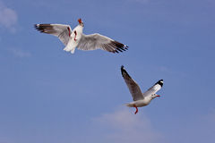 Couple seagul bird in 2 actions Royalty Free Stock Image