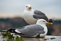 Couple of seagulls Stock Image