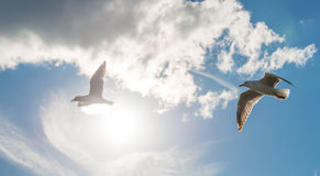 A couple of seagulls bird flying in the sky. The beauty of nature in the sunny day stock photos