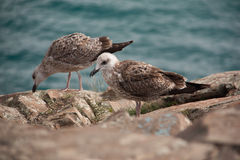 Couple of seagulls eating on rock mountain over the sea. side view of birds eating. Couple of seagulls eating on rock mountain over the sea. side view of birds royalty free stock photo