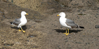 Couple of Seagulls. A natural shot of a couple of seagulls on the rocks Stock Photography