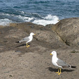 Couple of Seagulls. A natural shot of a couple of seagulls on the rocks near the ocean Royalty Free Stock Photo