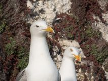 Couple of Seagulls, Rottingdean, East Sussex, UK stock images