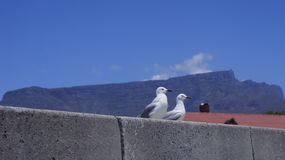 A couple of seagulls  sitting. A couple of seagulls are sitting, mountain background Royalty Free Stock Image