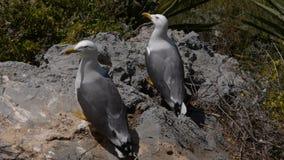 Couple of seagulls stock video