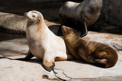 Couple of seals enjoing the sun Stock Photo
