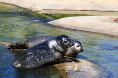 A couple of seals, looking endearing Royalty Free Stock Image