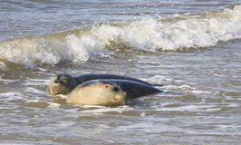 Couple of seals near dutch village of Hollum, Ameland Royalty Free Stock Photography