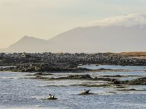 Iceland - Seals playing next to the shore. A couple of seals playing on the shore of the fjord, by the beach. They are using the spring sun to warms themselves stock photography