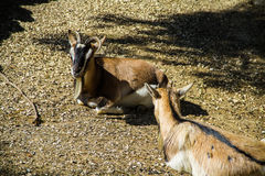 A couple of seated goats. Two goats seated at zoo Stock Image