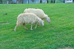 Couple of sheep Stock Photography