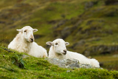 Couple of Sheep Royalty Free Stock Photography