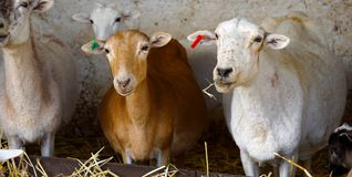 Sheeps in a farm. Couple of sheeps in a breeder in mexico, mexican farm with some sheeps eating straw fibers Royalty Free Stock Photo